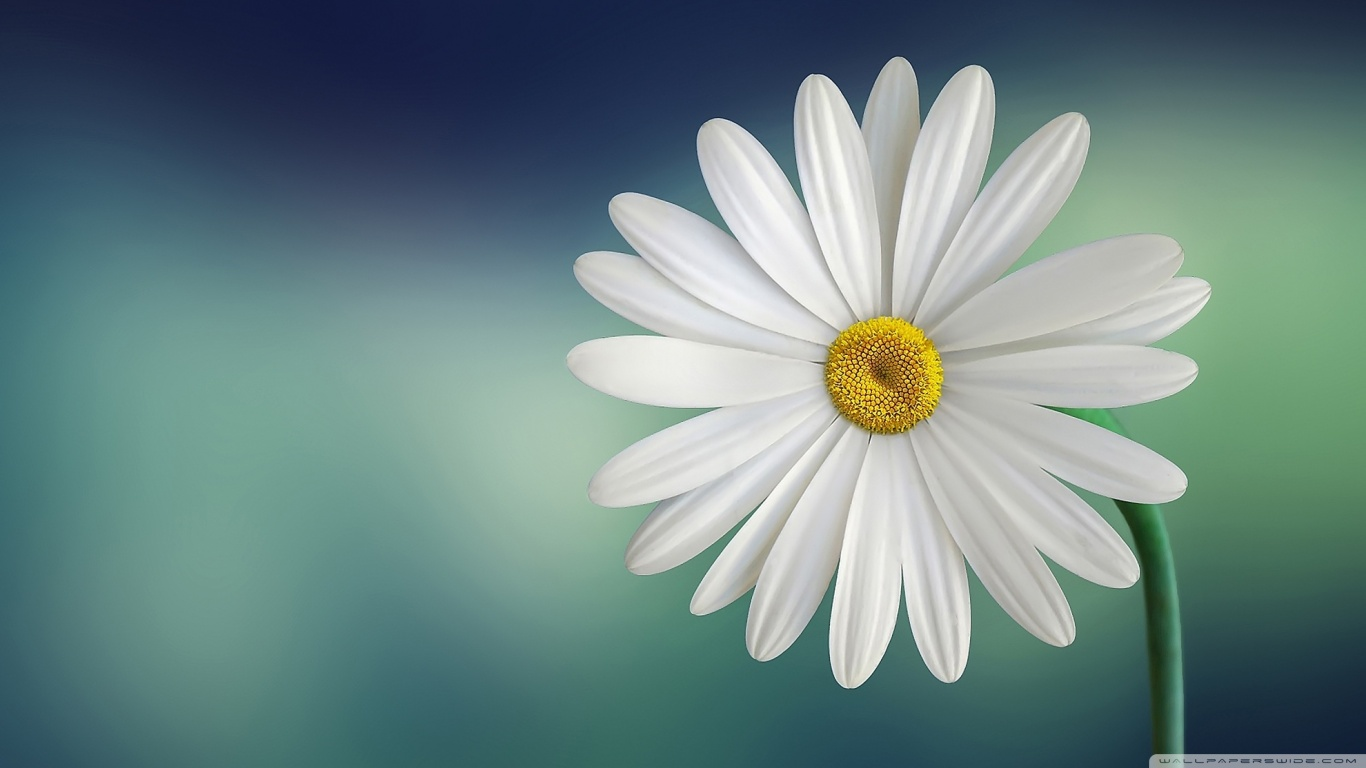 marguerite_daisy_flower-wallpaper-1366x768